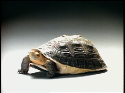 stockvideo's en b-roll-footage met medium shot tortoise withdrawing into shell - schild lichaamsdeel van dieren