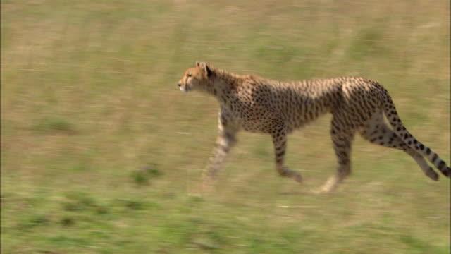 Medium shot tracking shot cheetah running through tall grass / Masai Mara, Kenya