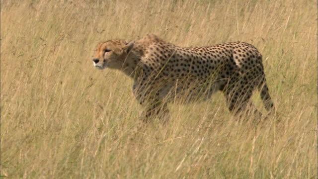 Medium shot tracking shot cheetah stalking prey in tall grass / Masai Mara, Kenya