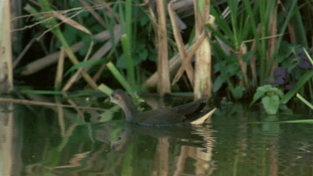 Medium shot tracking shot duck swimming along shore of lake with reeds reflected in water