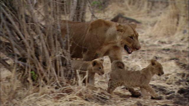 medium shot tracking shot female lion and two cubs playing behind brush + walking / south luangwa national park / zambia - kleine gruppe von tieren stock-videos und b-roll-filmmaterial