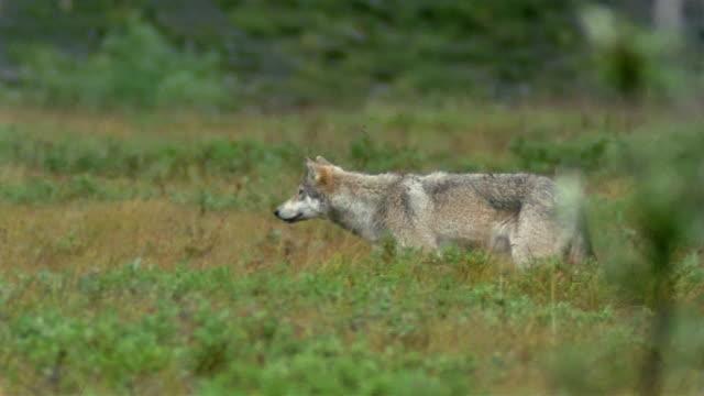 stockvideo's en b-roll-footage met medium shot tracking shot gray wolf stalking prey through vegetation/ changing direction / denali national park/ alaska - alaska verenigde staten