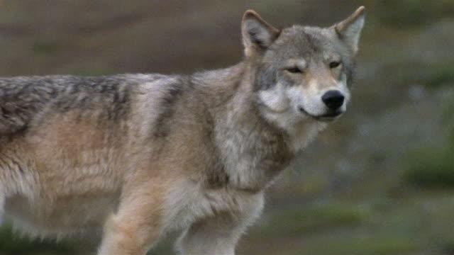 Medium shot tracking shot gray wolf walking and looking around / rear view / Denali National Park / Alaska