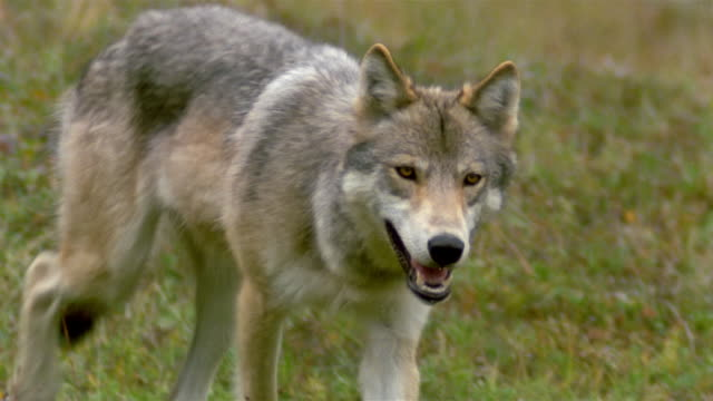 Medium shot tracking shot gray wolf walking through tundra grass / Denali National Park / Alaska