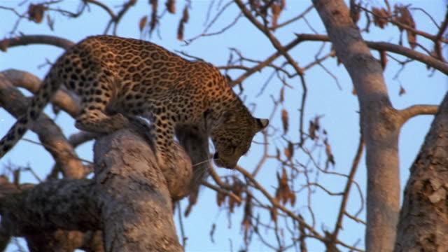 Medium shot tracking shot leopard cub climbing down tree / Africa