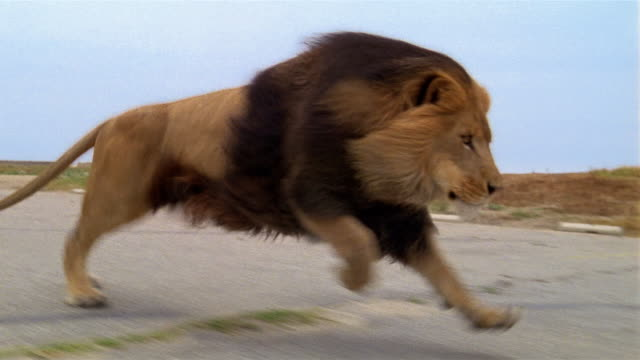 medium shot tracking shot lion running in parking lot - lion stock videos & royalty-free footage