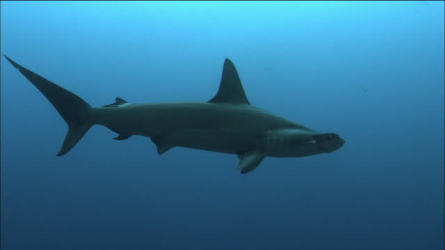 medium shot tracking shot scalloped hammerhead shark swimming with smaller fish below it / cocos island, costa rica - costa rica stock videos & royalty-free footage