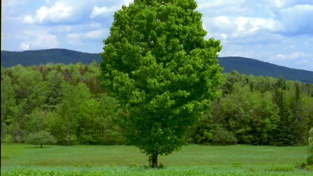 medium shot tree in green field w/wind blowing gently and thick forest in background against sky w/clouds / vermont - vermont stock videos & royalty-free footage