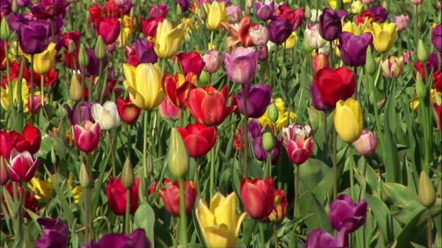 vídeos de stock, filmes e b-roll de medium shot tulips/ zoom out wide shot tulip field/ willamette valley, oregon - medium group of objects
