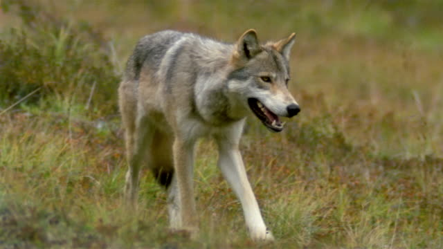 Medium shot tundra grass / tilt up gray wolf walking towards CAM / Denali National Park / Alaska