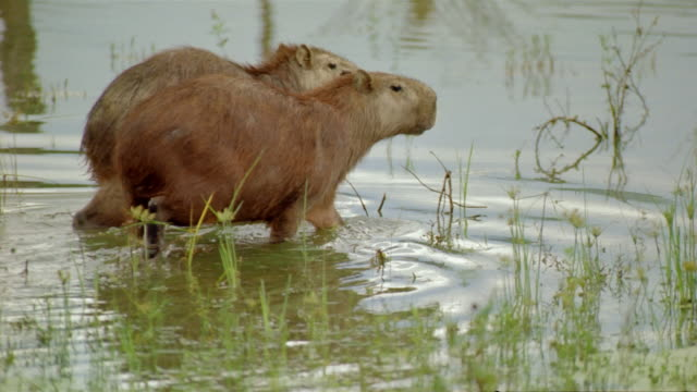 medium shot two capybaras stepping into water / venezuela - pair stock videos & royalty-free footage