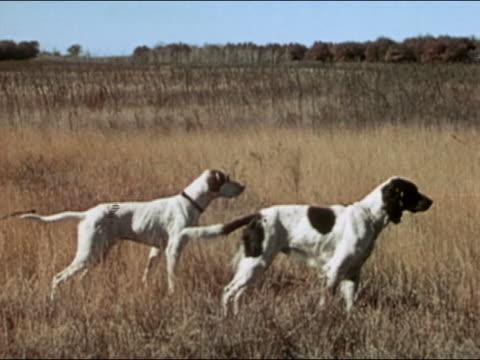 vídeos y material grabado en eventos de stock de 1946 medium shot two hunting dogs pointing in field / audio - perro cazador