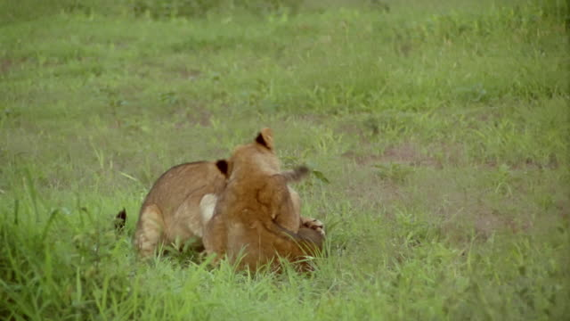 medium shot two lion cubs playing / jumping and biting / rolling around in the grass / africa - lion cub stock videos & royalty-free footage