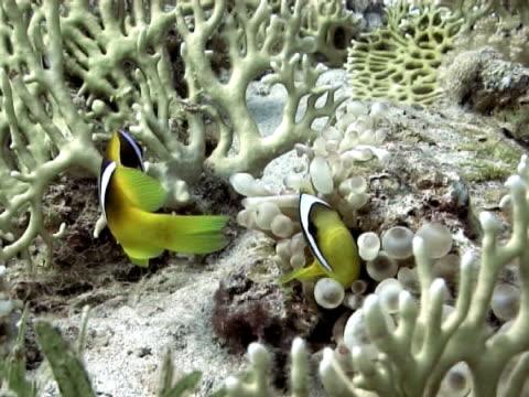 medium shot two nemofish in small anemone. - clown fish stock videos & royalty-free footage