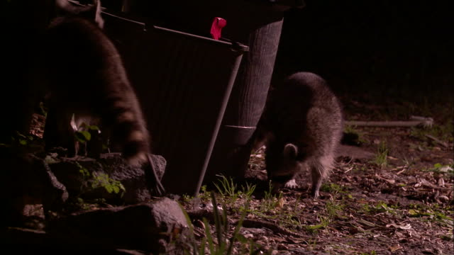 Medium Shot - Two raccoons scavenging near trash cans startle themselves by knocking over trash can /