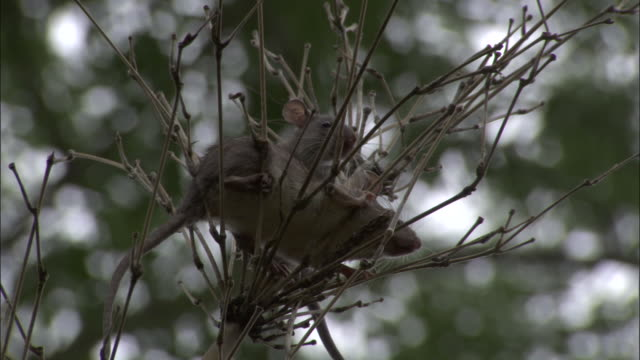 medium shot - two rats nestled in a plants branches  / bangladesh  - bush stock videos & royalty-free footage