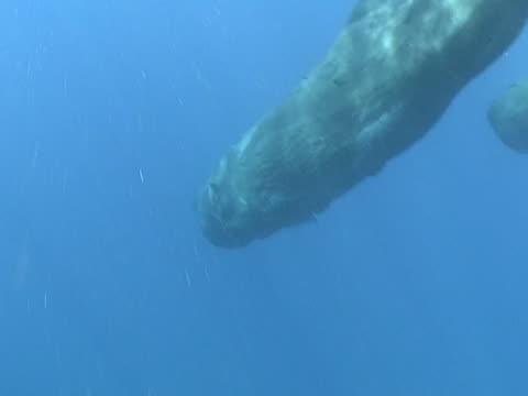 medium shot two young sperm whale calves diving into the depths to feed - sperm whale stock videos and b-roll footage