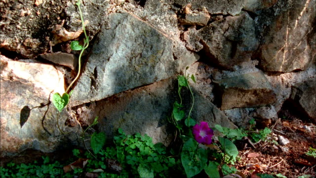 Medium shot violet at base of rock in terrace on grounds of Colle/ pan medium shot terrace wall/ Charlottesburg, Virginia