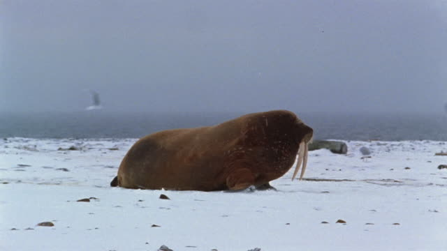 Medium shot walrus moving across snow on snowy day / gulls flying overhead / water in background / Arctic