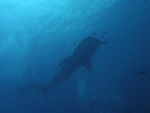 medium shot whale shark filmed from below as  swims towards camera, with remoras and divers in frame - gill stock videos & royalty-free footage