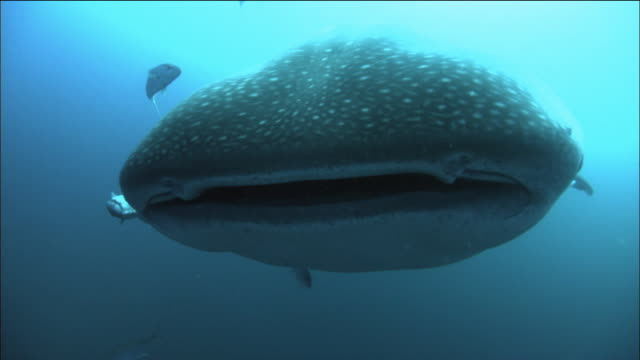 Medium shot whale shark swimming over CAM / divers swimming behind it/ Galapagos Islands, Ecuador