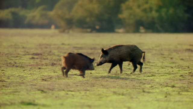 medium shot wild pigs roaming around field / spain - boar stock videos & royalty-free footage