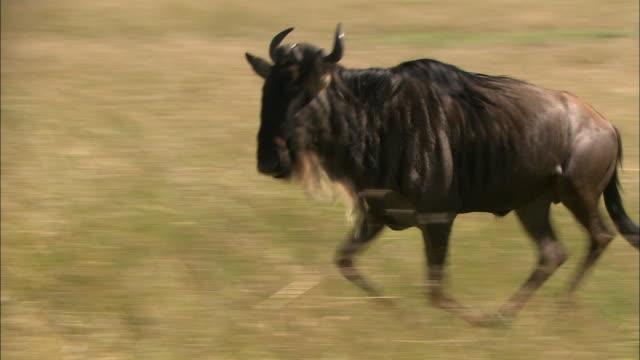 medium shot wildebeest running through tall grass / masai mara, kenya - wildebeest stock videos & royalty-free footage