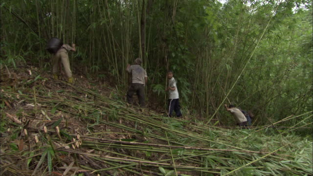 medium shot - workers cutting down tall bamboo plants / bangladesh  - bamboo plant stock videos and b-roll footage