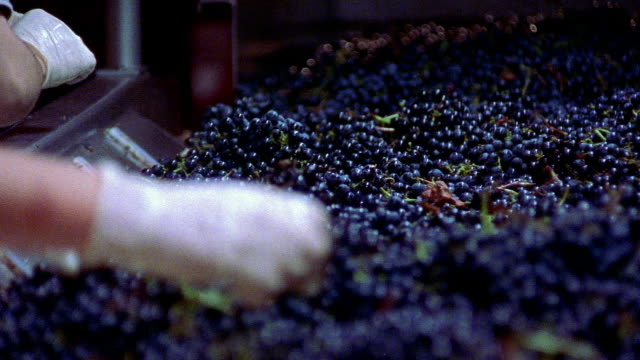 Medium shot workers removing leaves from harvested grapes on conveyor belt at Robert Mondavi Winery/ Napa Valley, California