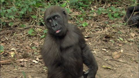 medium shot young gorilla sitting on ground, clapping hands, wrapping arms behind head and looking around / cameroon - monkey stock videos & royalty-free footage