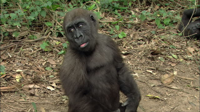 Medium shot young gorilla sitting on ground, clapping hands, wrapping arms behind head and looking around / Cameroon