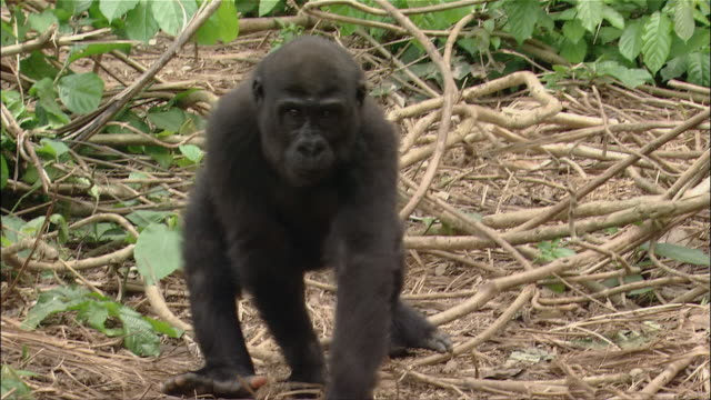 medium shot young gorilla walking across branches on all fours / sitting down / cameroon - primate stock videos and b-roll footage
