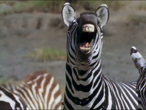 1971 medium shot zebra braying / baring teeth and gums / Tanzania