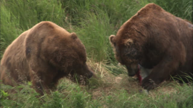medium shot zoom in and close shot of two bears on land squabbling over fish - medium group of animals stock videos & royalty-free footage