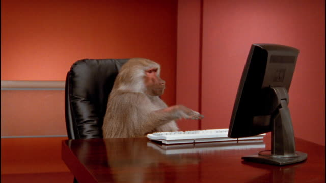 Medium shot zoom in baboon pounding on computer keyboard