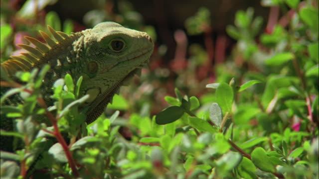 vidéos et rushes de medium shot zoom in close up iguana standing amongst plants / san juan, puerto rico - moins de 10 secondes