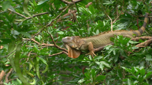 Medium shot zoom in lizard sitting in tree / Muelle, Costa Rica