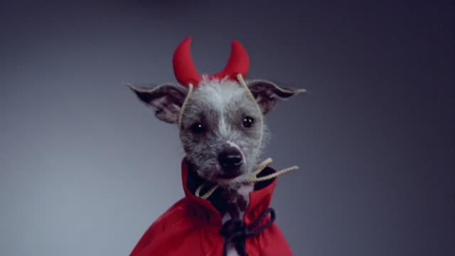 vídeos y material grabado en eventos de stock de medium shot zoom in mexican hairless dog in devil costume/ california - vestuario teatral