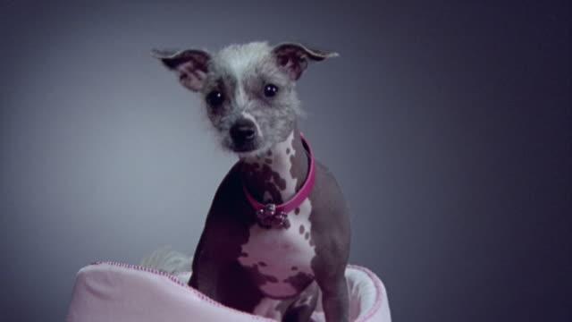 vídeos y material grabado en eventos de stock de medium shot zoom in mexican hairless dog sitting in dog bed/ california - peladas