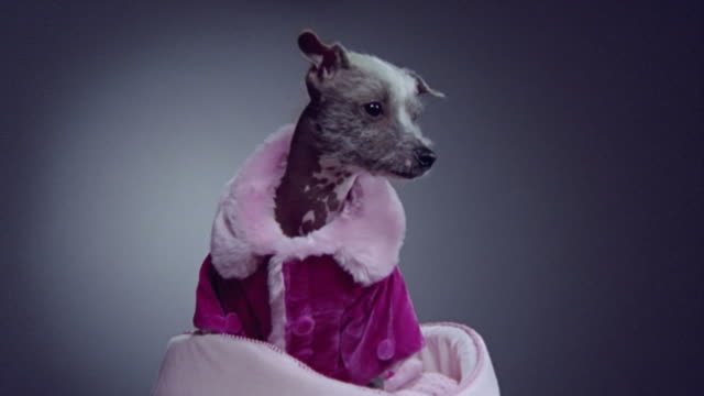 medium shot zoom in mexican hairless dog wearing pink coat and sitting in dog bed/ california - pampered dog stock videos and b-roll footage