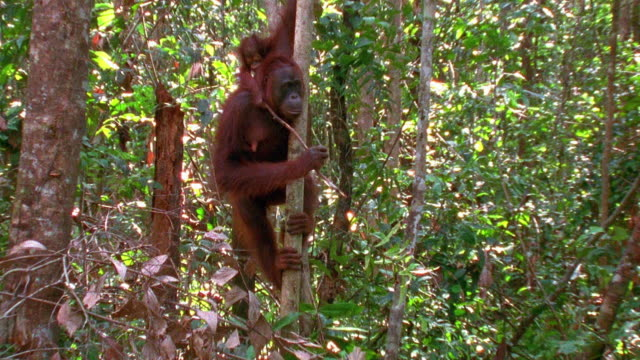 medium shot zoom in mother orangutan hanging in tree with baby / indonesia - branch stock videos & royalty-free footage