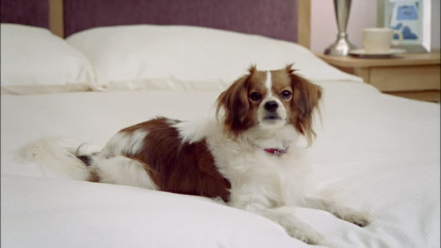 medium shot zoom in papillon on bed/ california - duvet stock videos & royalty-free footage