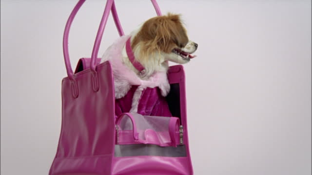 medium shot zoom in papillon wearing pink coat and sitting in pink handbag/ california - borsetta video stock e b–roll