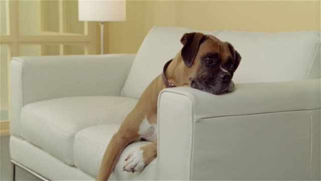 medium shot zoom in portrait boxer lying with head on arm of white leather sofa - boxer dog stock videos and b-roll footage