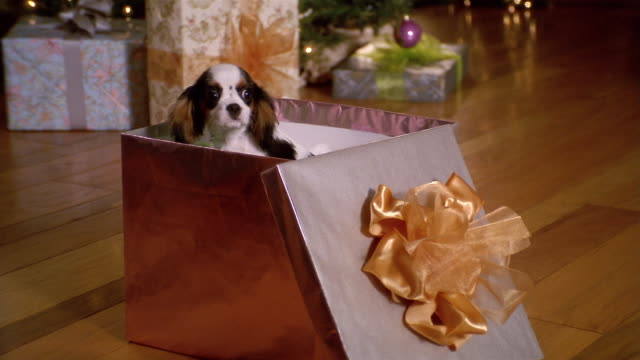 vidéos et rushes de medium shot zoom in puppy sitting in open gift box - cadeau