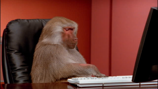 vídeos de stock, filmes e b-roll de medium shot zoom out baboon pulling laptop closer to himself / typing - macaco