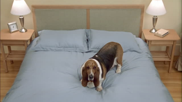 Medium shot zoom out Bassett Hound on bed/ zoom in close up/ California