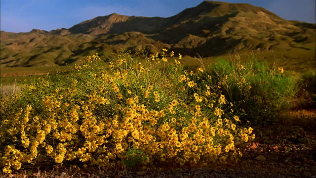 Medium shot zoom out field of yellow wildflowers (possibly desert marigold) with hills in background / Death Valley, California