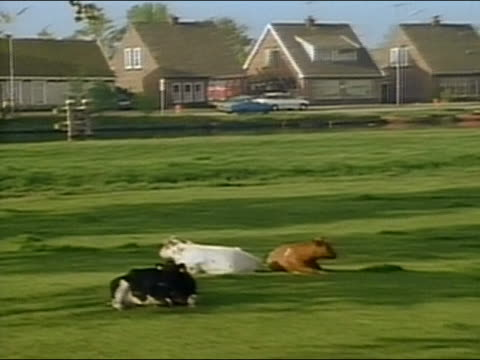 1994 medium shot zoom out pan cows lying down and grazing in field with houses + busy traffic in background / Holland / AUDIO