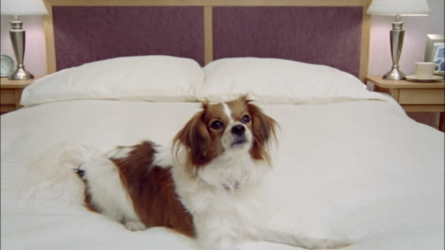 medium shot zoom out papillon on bed/ california - duvet stock videos & royalty-free footage